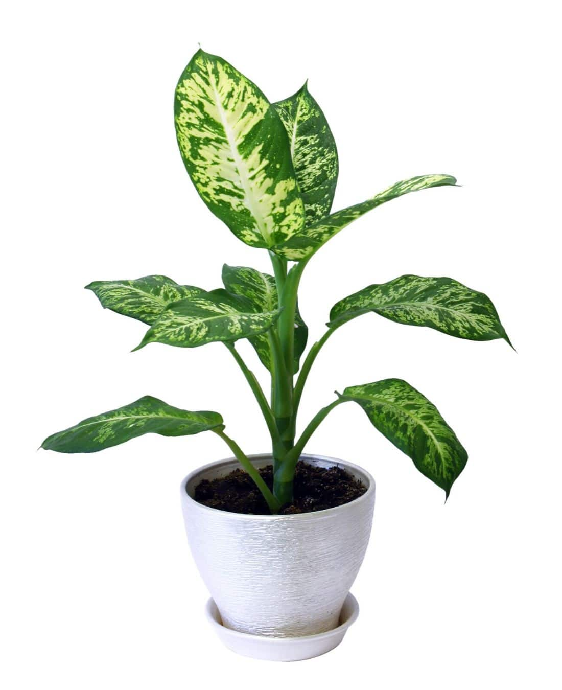 Best Office Plants | ImpeccaBuild | Dieffenbachia