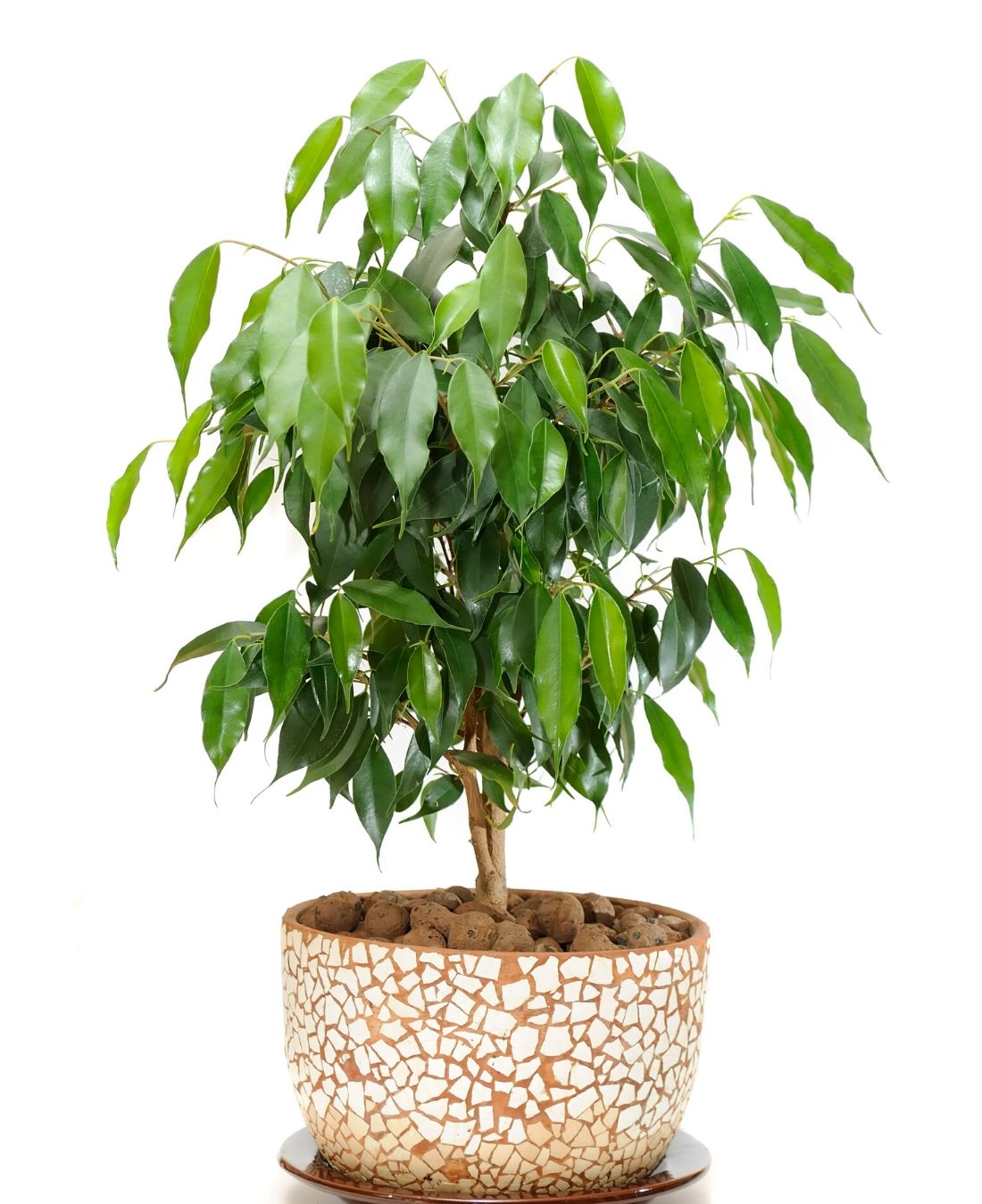 Best Office Plants | ImpeccaBuild | Weeping Fig