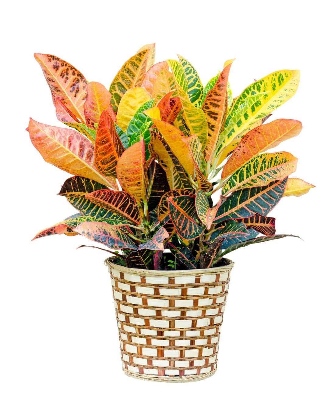 Best Office Plants | ImpeccaBuild | Croton