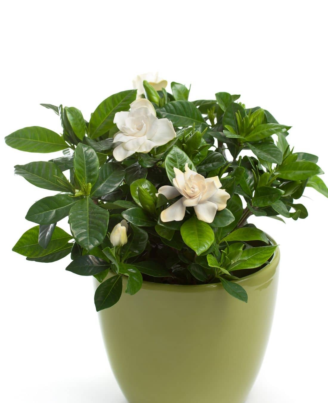 Best Office Plants | ImpeccaBuild | Gardenia