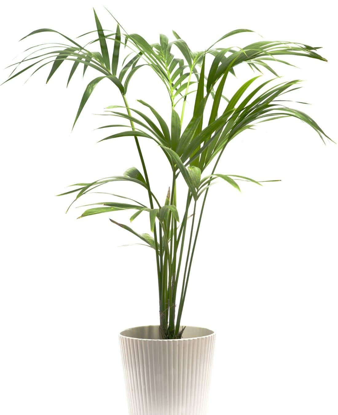 Best Office Plants | ImpeccaBuild | Kentia Palm