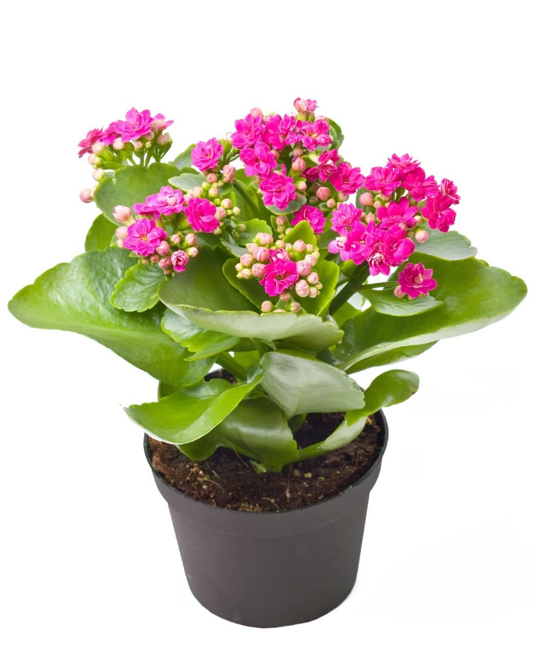 Best Office Plants | ImpeccaBuild | Kalanchoe
