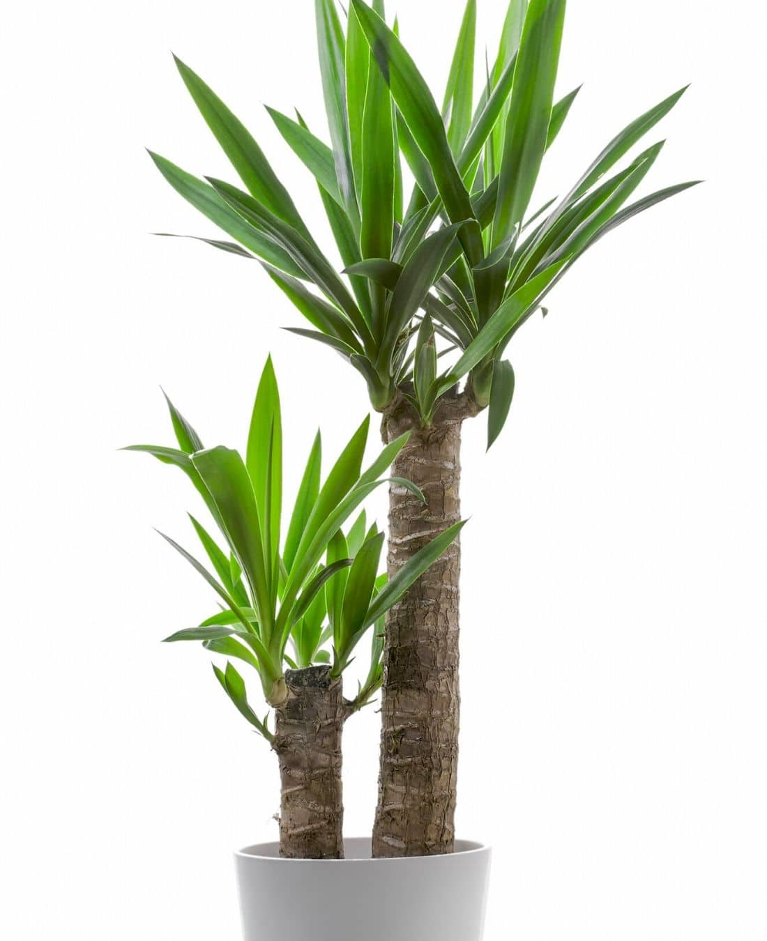 Best Office Plants | ImpeccaBuild | Yucca Cane Plant