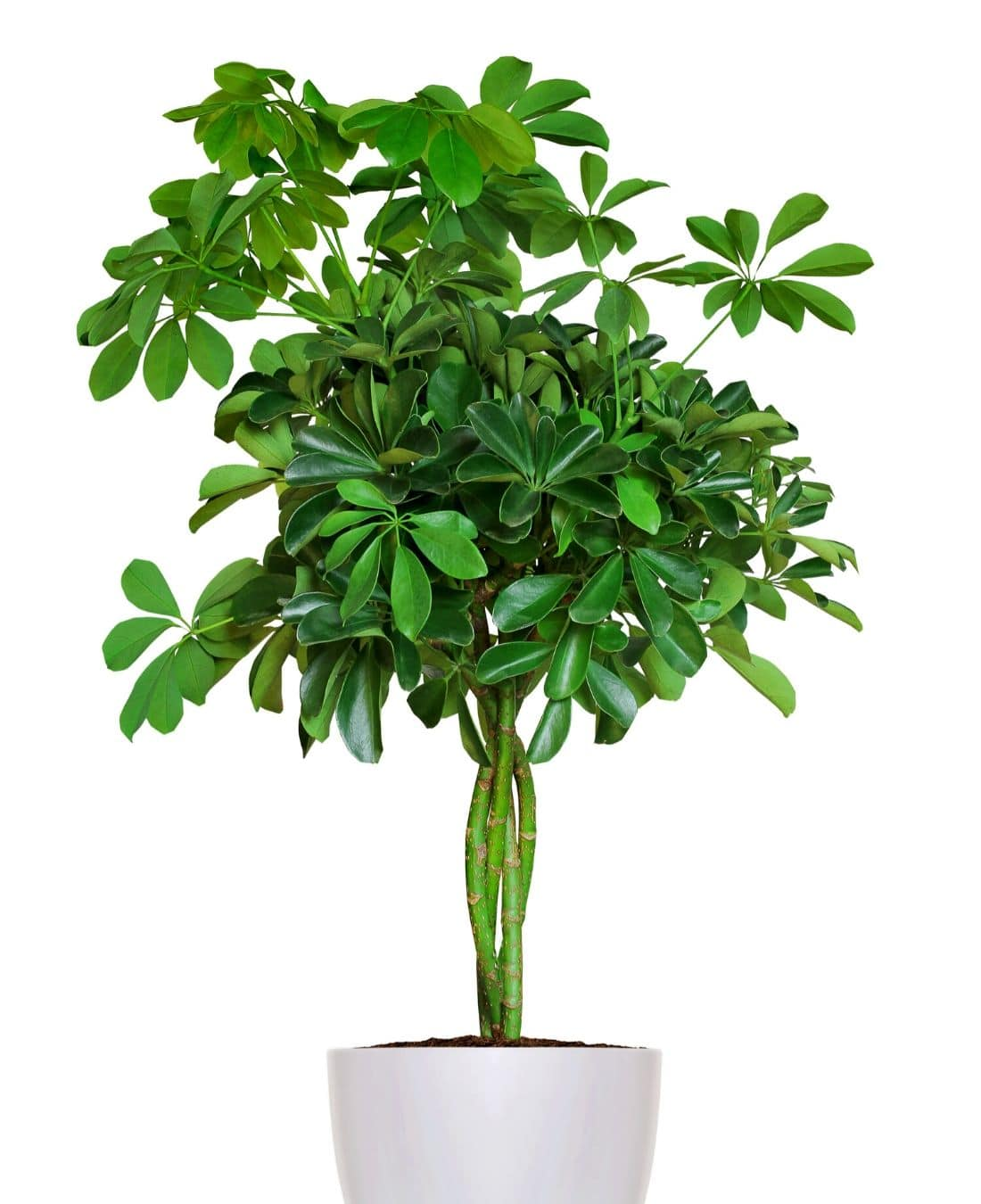 Best Office Plants | ImpeccaBuild | Schefflera