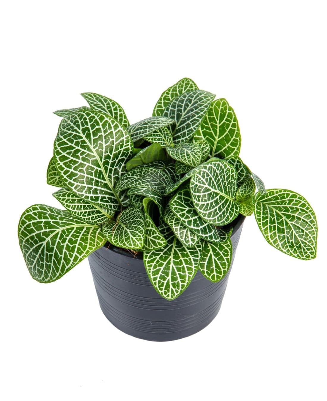 Best Office Plants | ImpeccaBuild | Nerve Plant