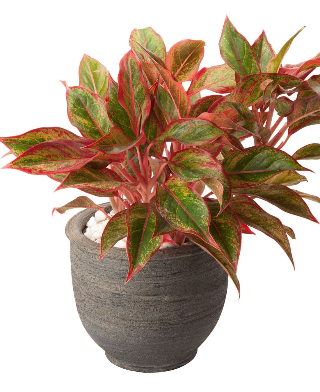 Best Office Plants | ImpeccaBuild | Red Aglaonema
