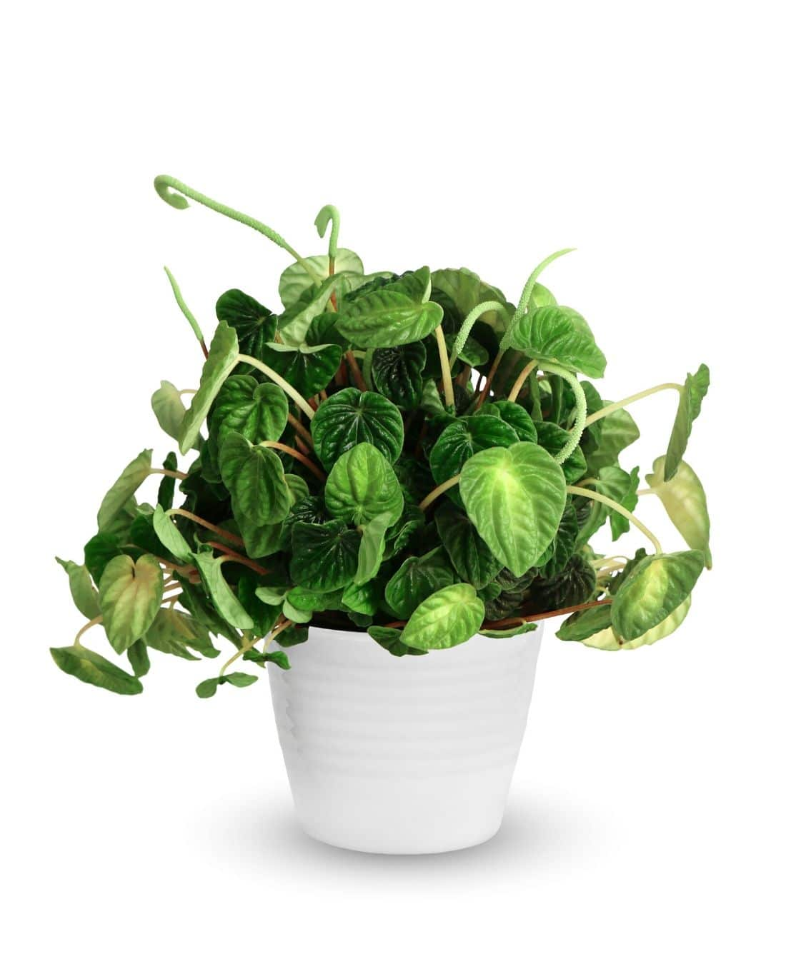 Best Office Plants | ImpeccaBuild | Peperomia