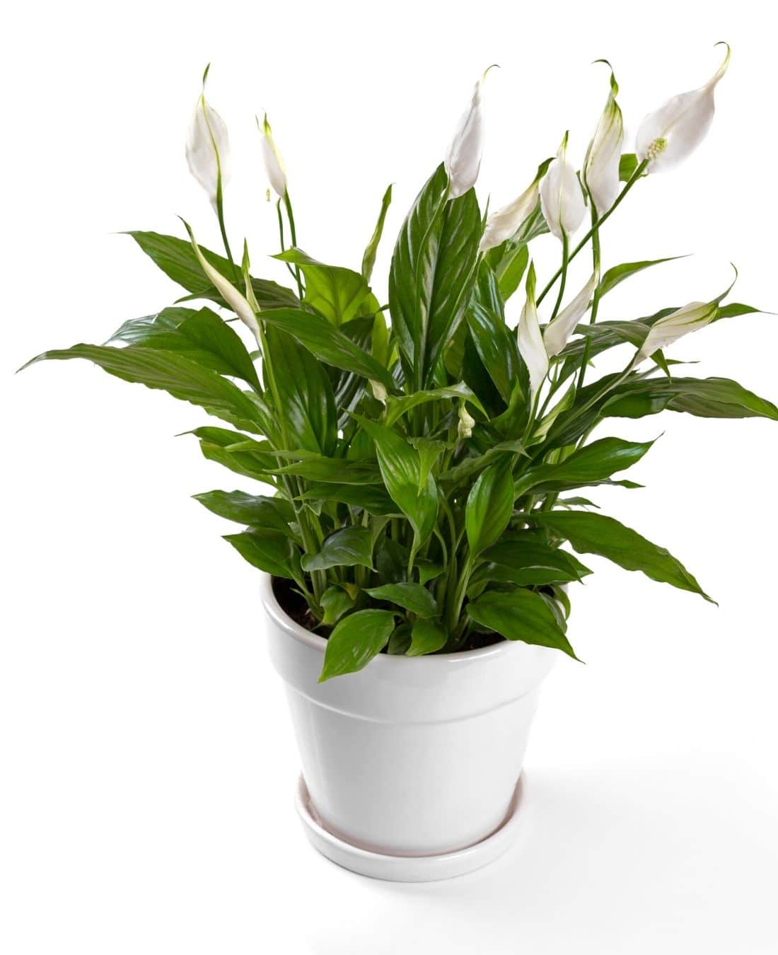 Best Office Plants | ImpeccaBuild | Peace Lilies