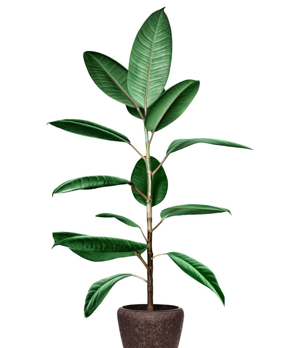 Best Office Plants | ImpeccaBuild | Rubber Plants