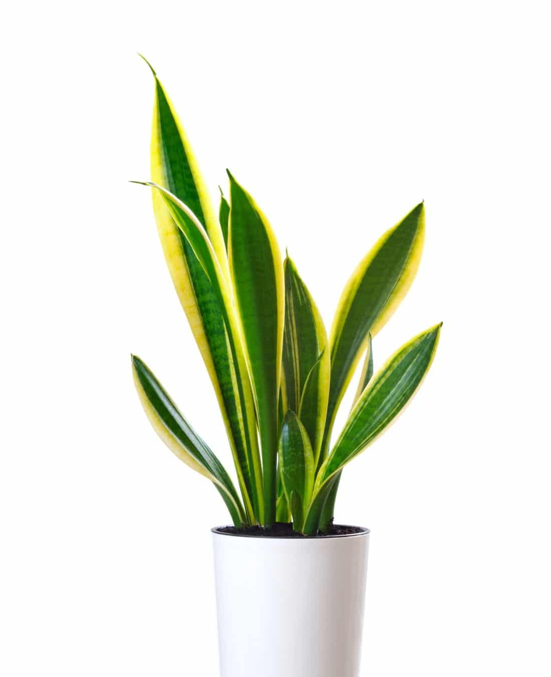 Best Office Plants | ImpeccaBuild | Snake Plants (Mother in Law's Tongue)