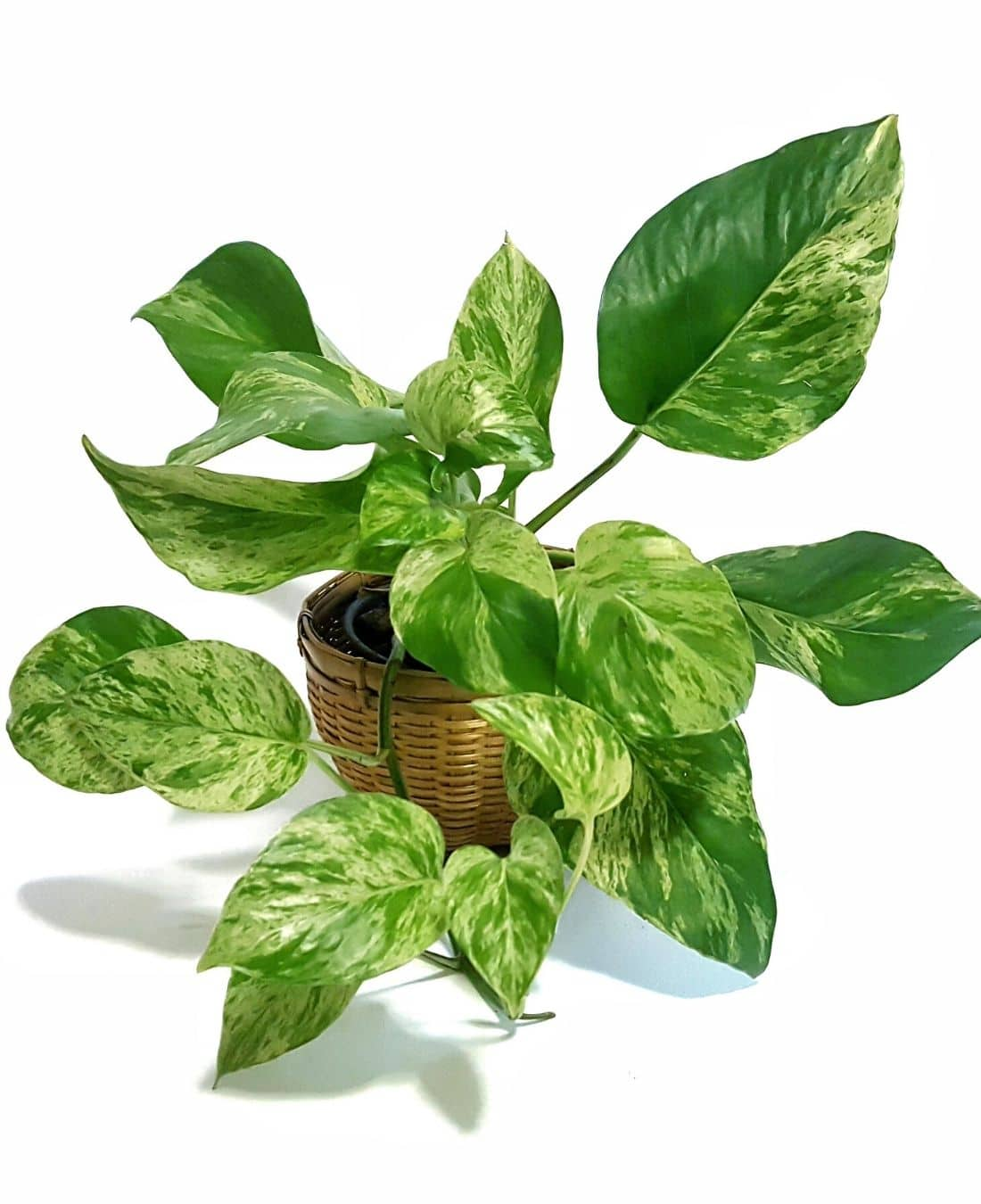 Best Office Plants | ImpeccaBuild | Golden Pothos