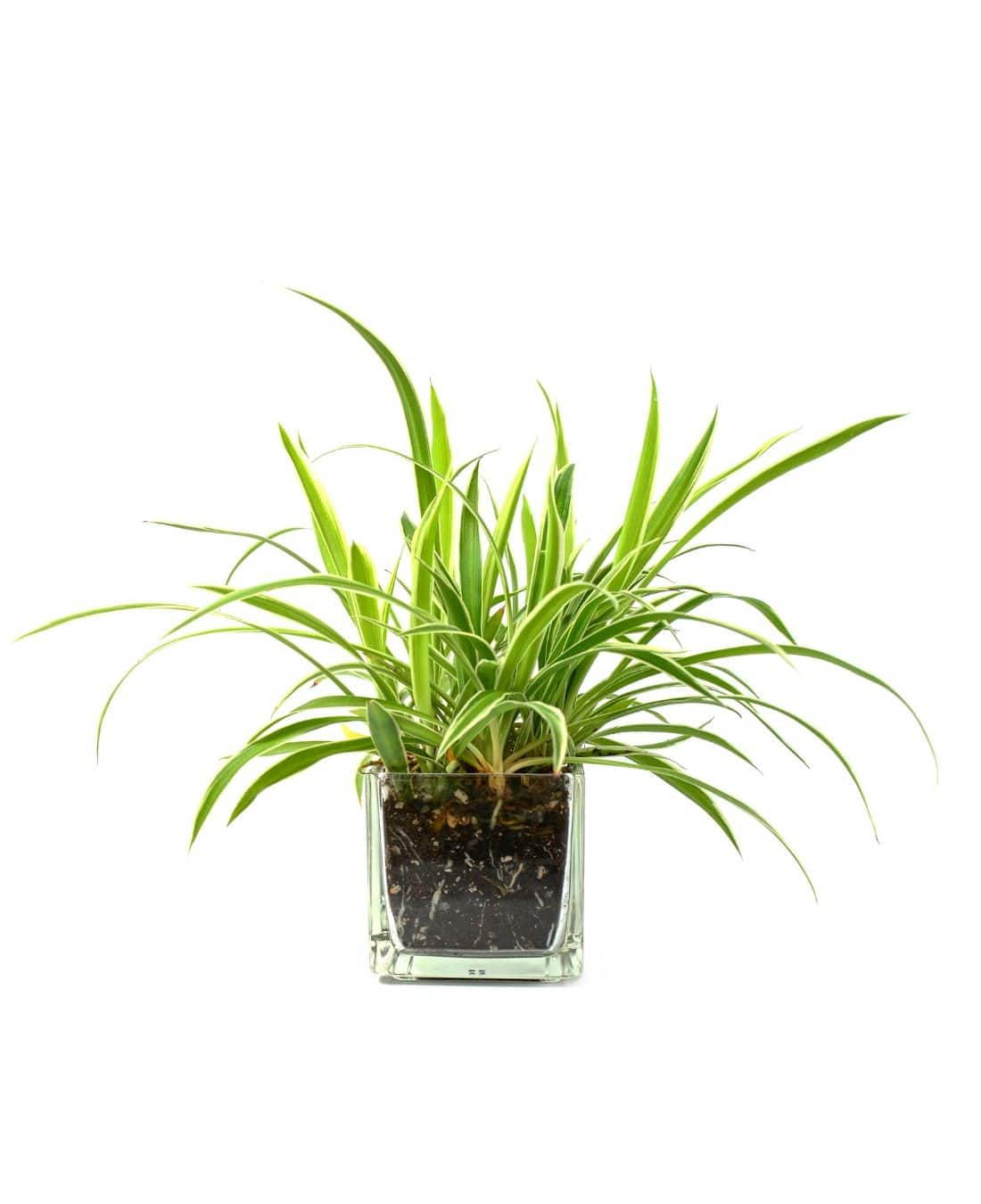 Best Office Plants | ImpeccaBuild | Spider Plants