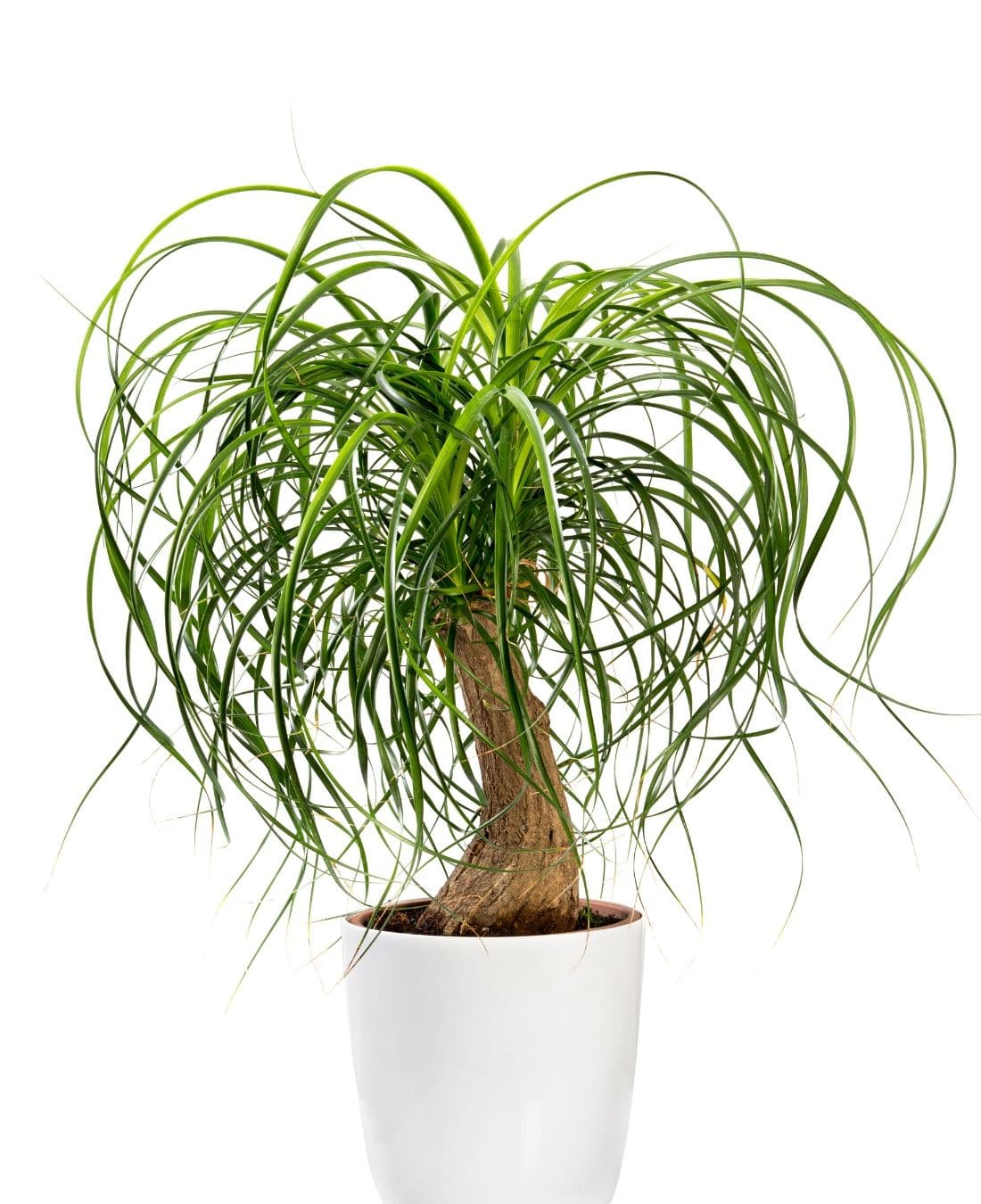 Best Office Plants | ImpeccaBuild | Ponytail Palm