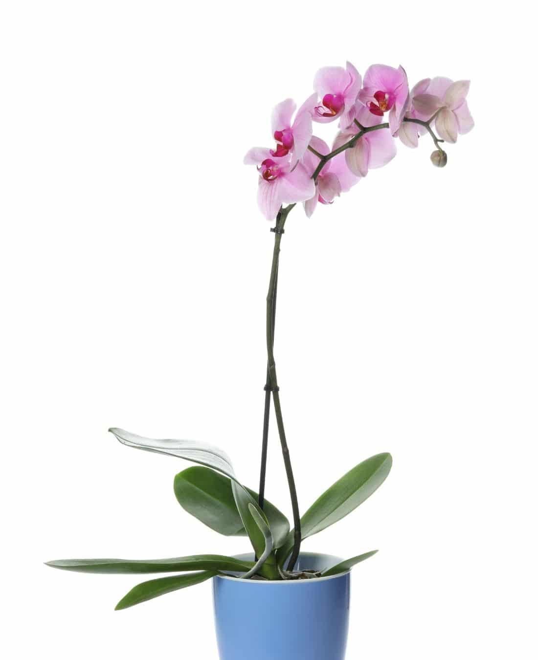 Best Office Plants | ImpeccaBuild | Phalaenopsis Orchid