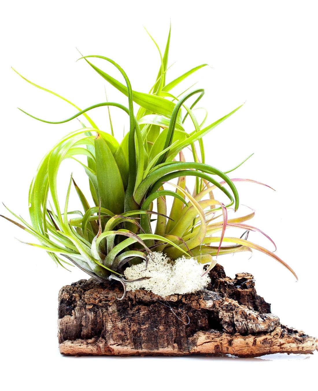 Best Office Plants | ImpeccaBuild | Air Plants