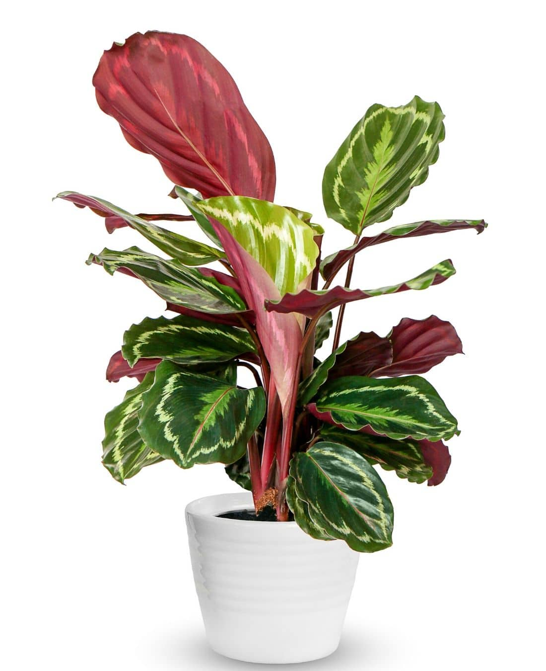 Best Office Plants | ImpeccaBuild | Calatheas