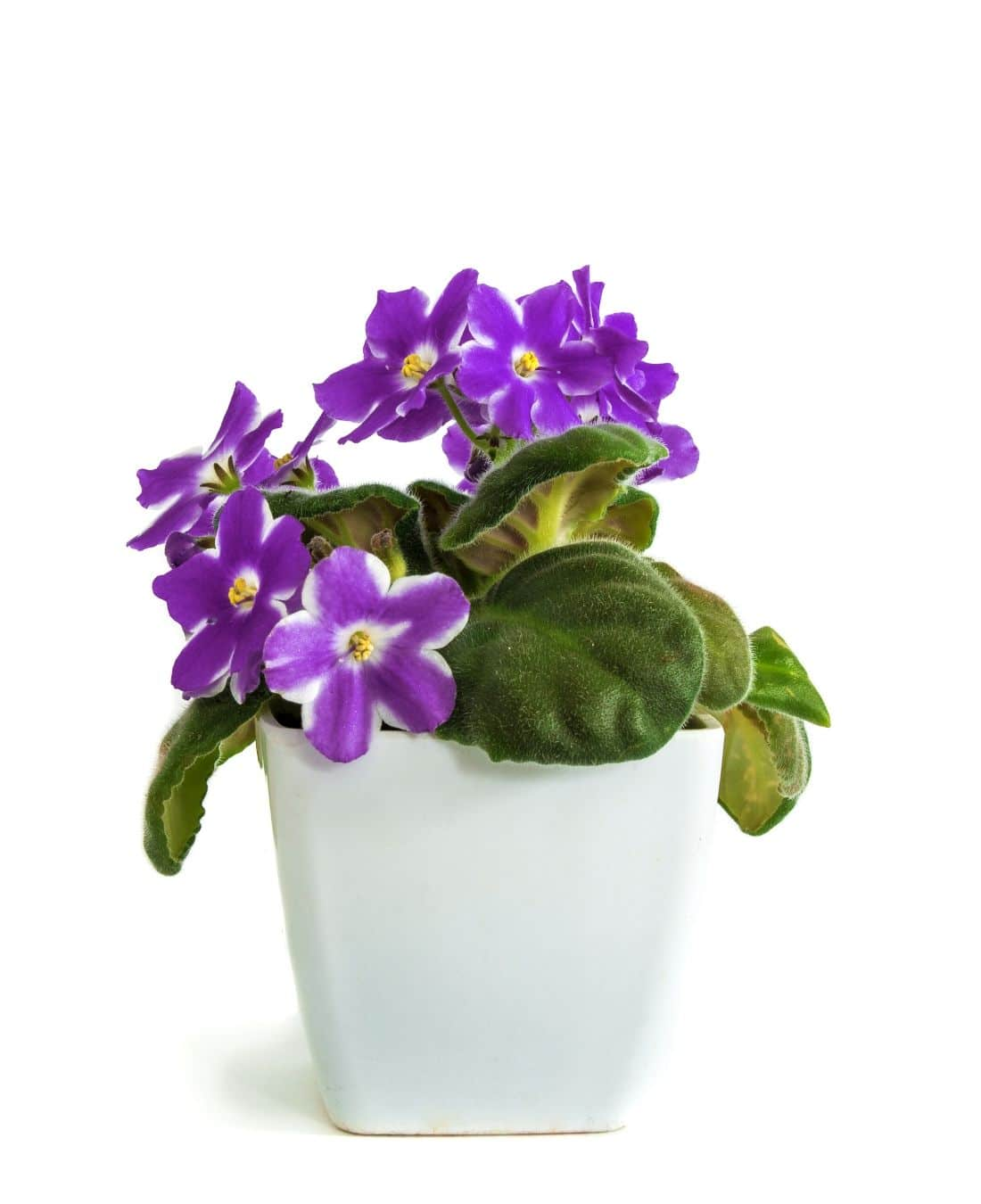 Best Office Plants | ImpeccaBuild | African Violets