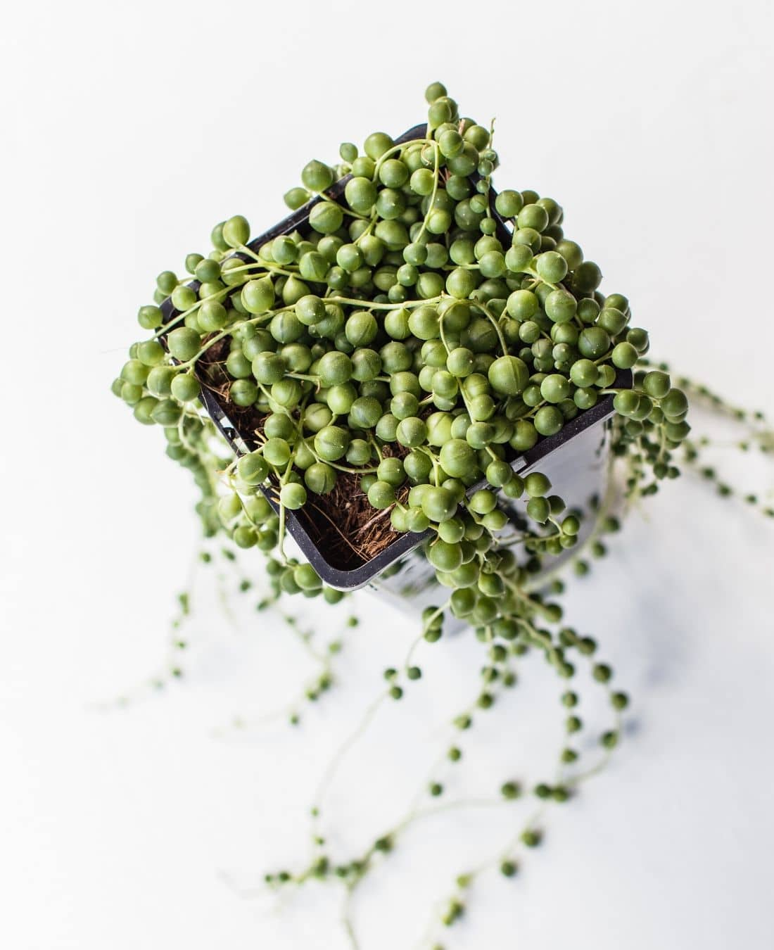 Best Office Plants | ImpeccaBuild | String of Pearls