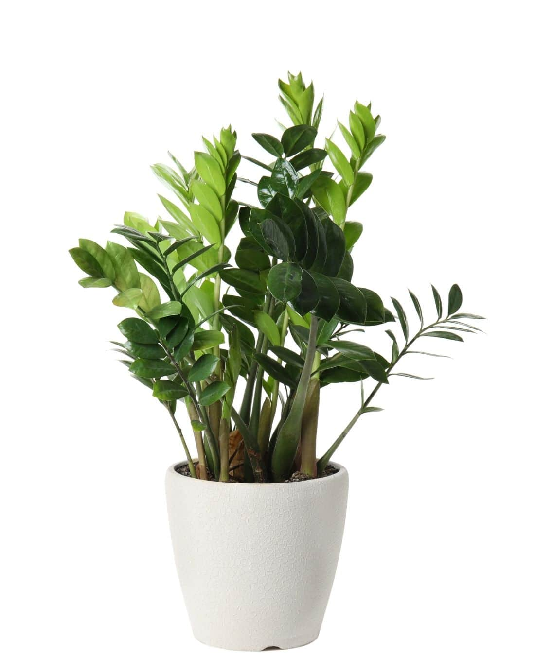 Best Office Plants | ImpeccaBuild | ZZ Plant