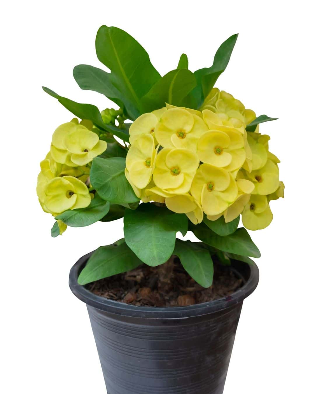 Best Office Plants | ImpeccaBuild | Crown of Thorns