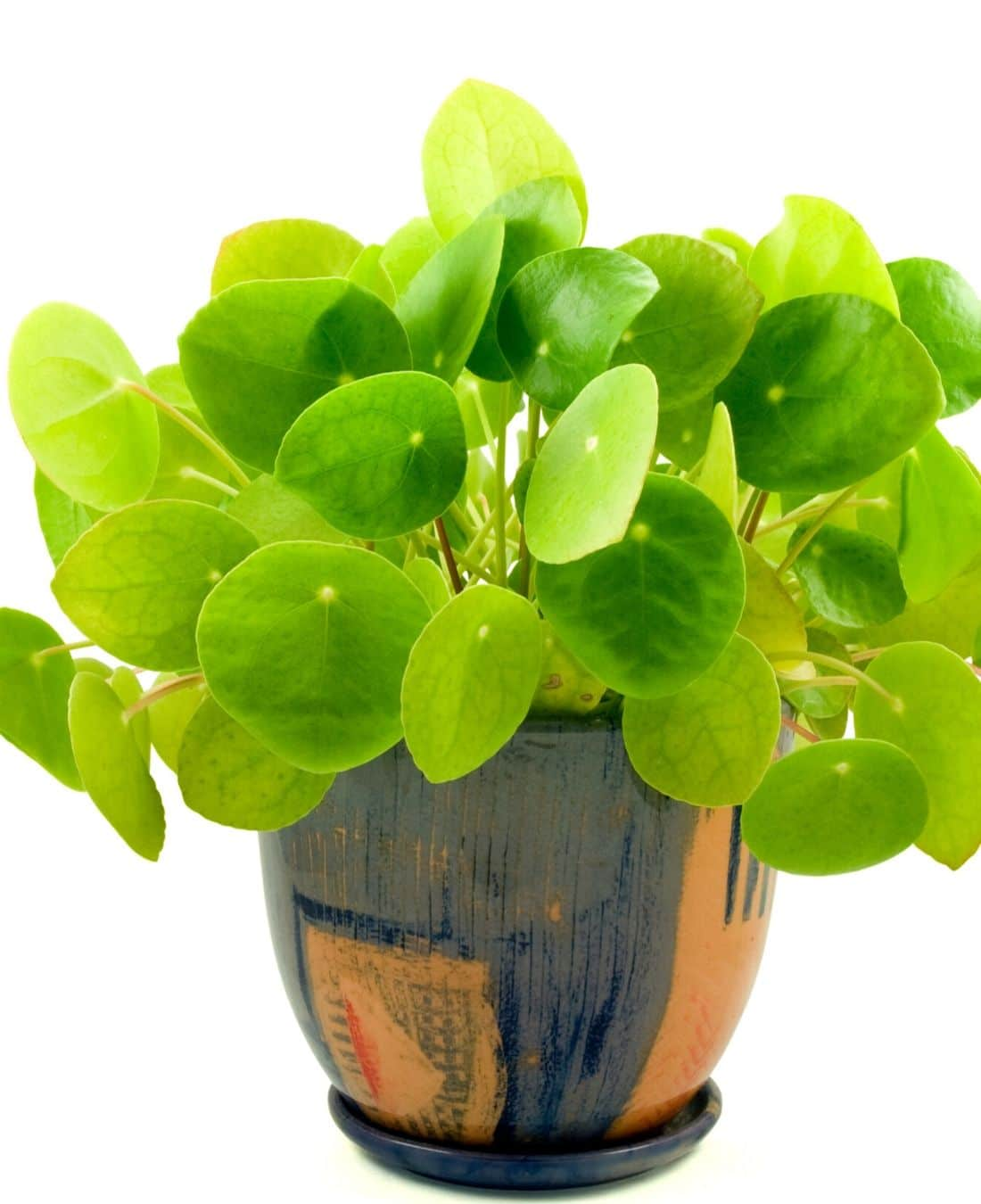Best Office Plants | ImpeccaBuild | Chinese Money Plant | Chinese Money Plant