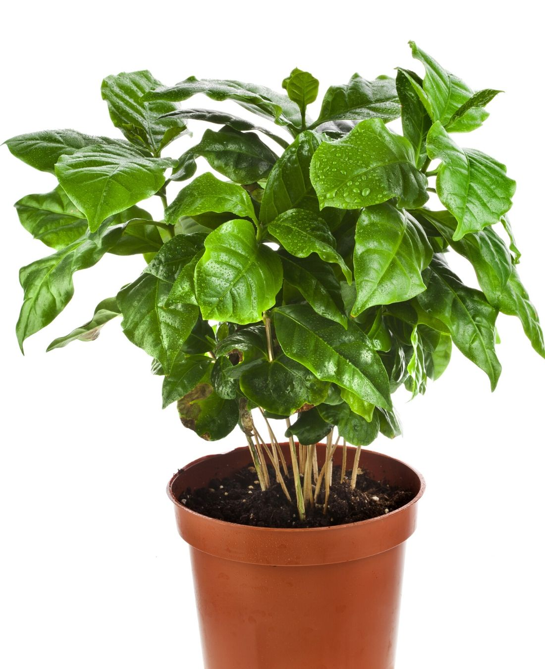 Best Office Plants | ImpeccaBuild | Coffee Plant