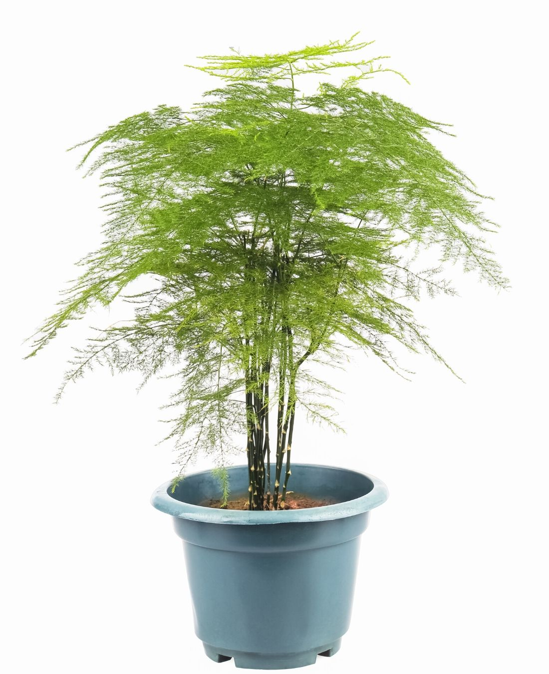 Best Office Plants | ImpeccaBuild | Asparagus Fern