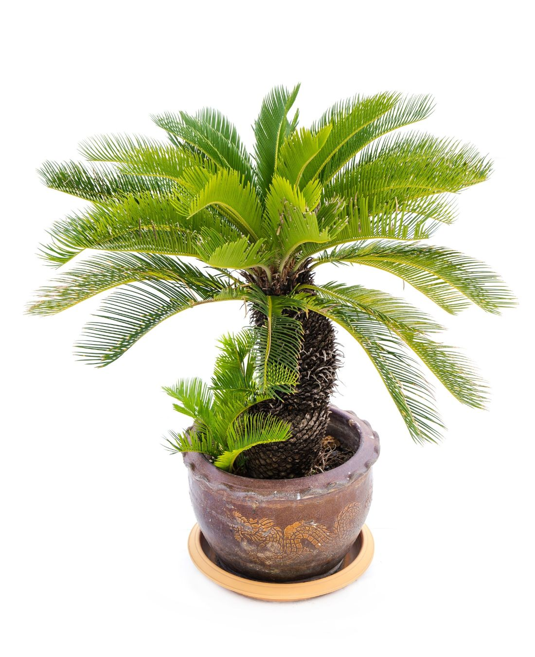 Best Office Plants | ImpeccaBuild | Japanese Sago Palm