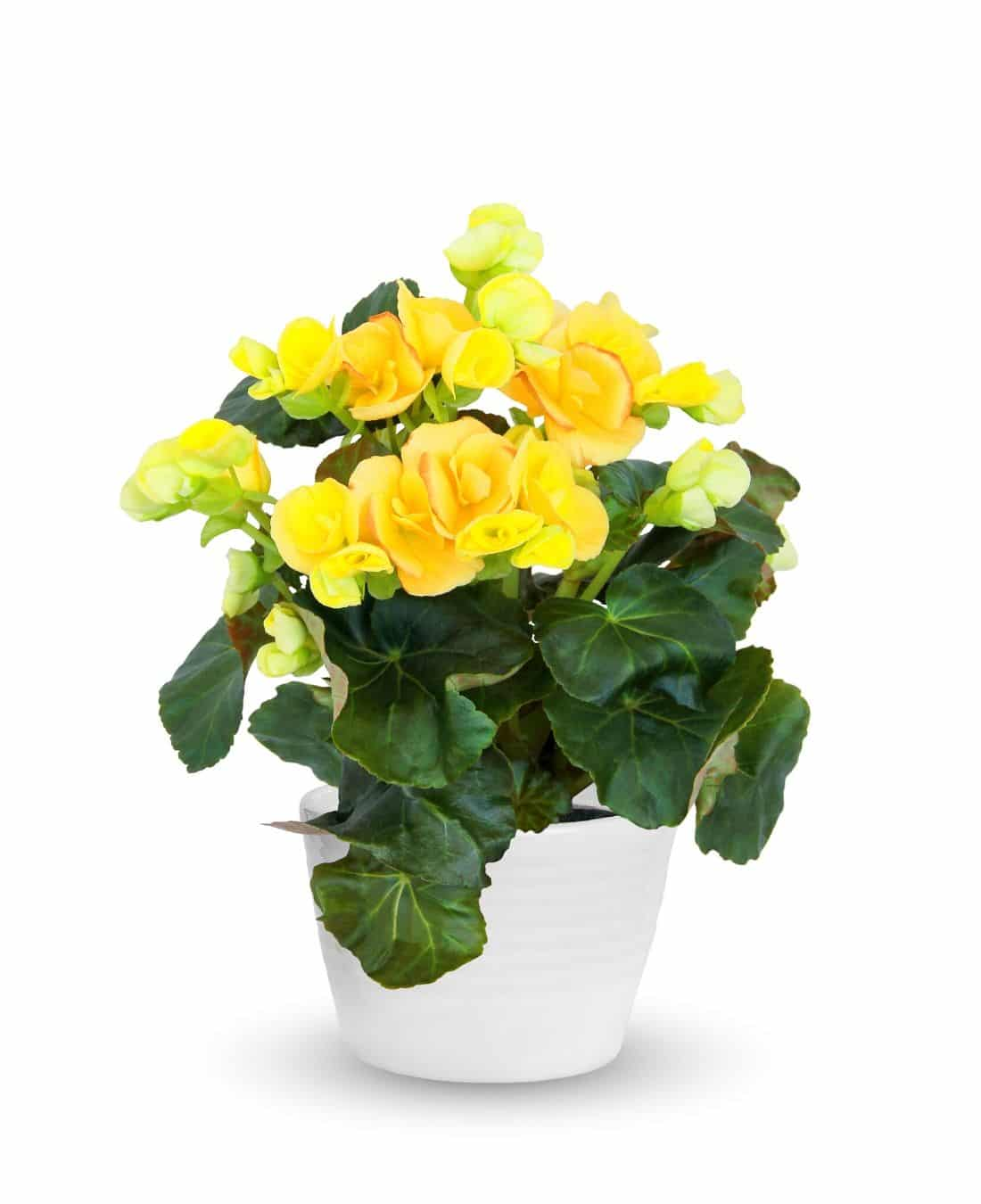 Best Office Plants | ImpeccaBuild | Begonia