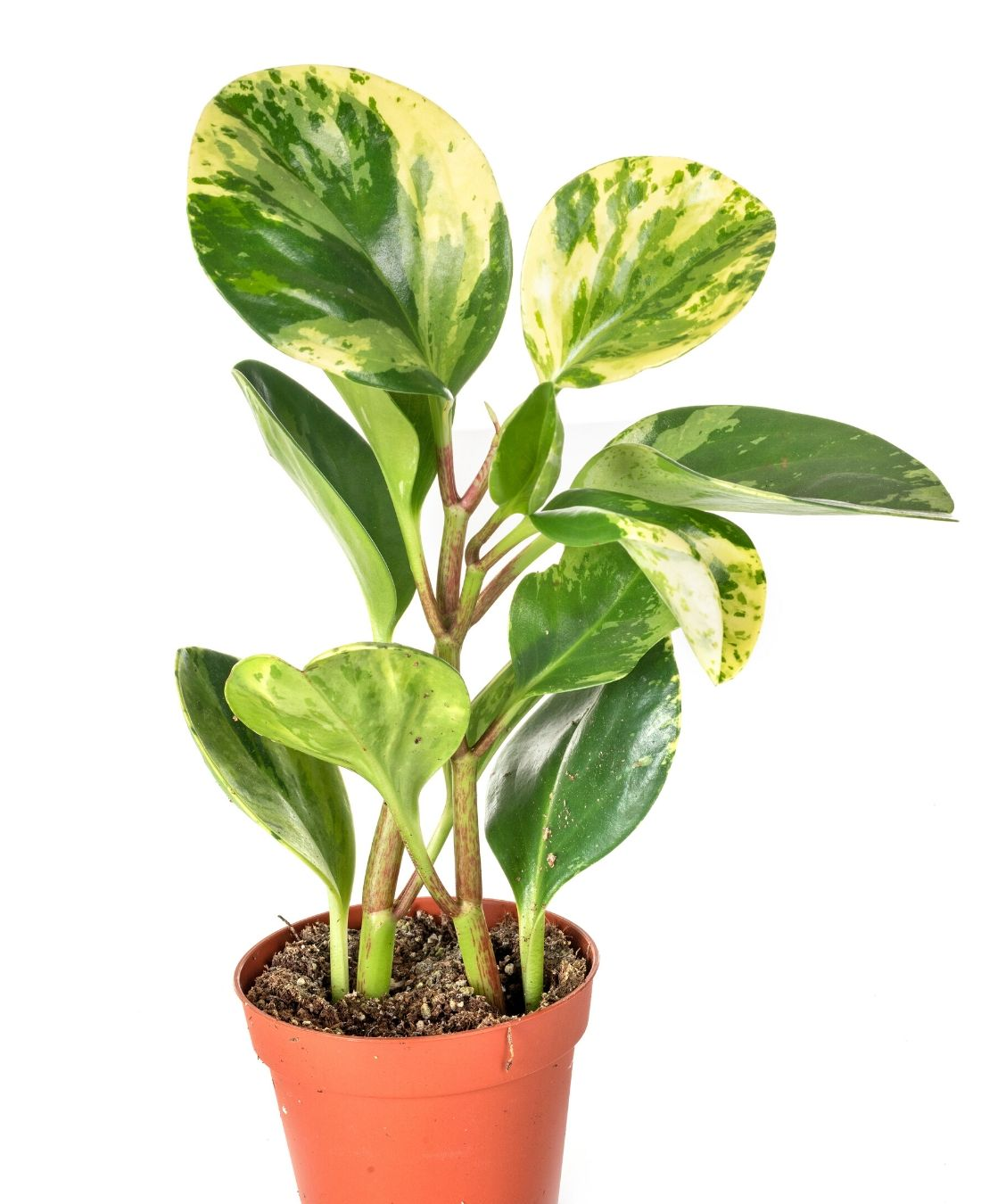 Best Office Plants | ImpeccaBuild | Peperomia Obtusfolia