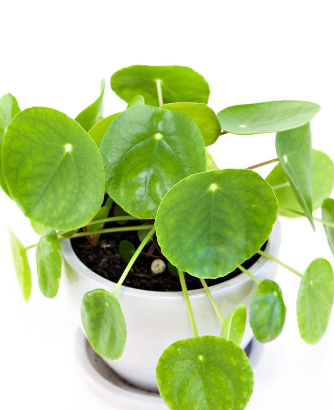 Best Office Plants | ImpeccaBuild | Pilea