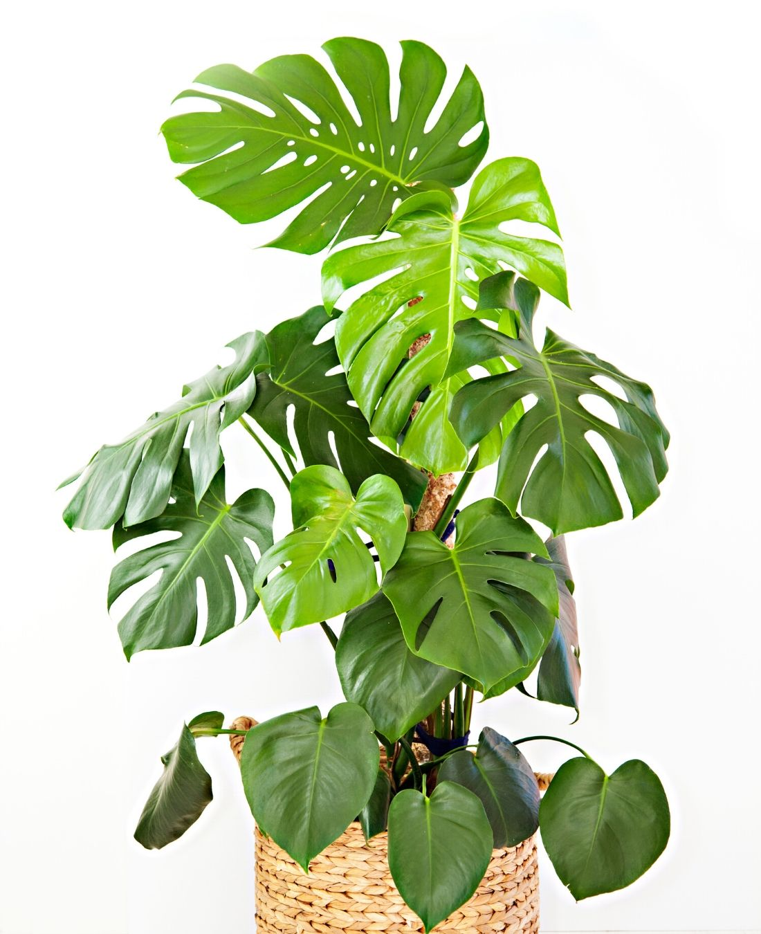 Best Office Plants | ImpeccaBuild | Split Leaf Philodendrons