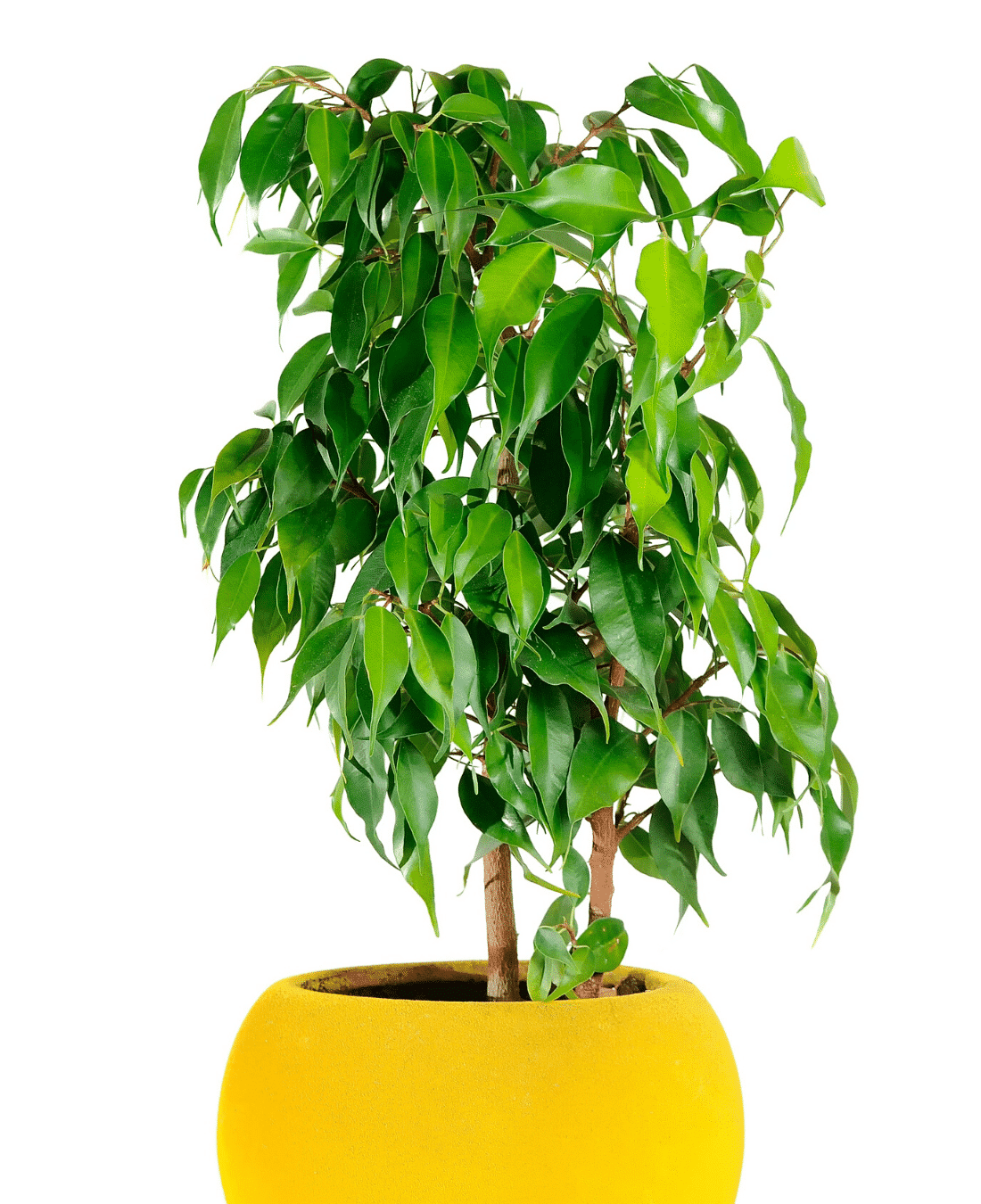 Indoor Office Plants Feng Shui | ImpeccaBuild | Ficus