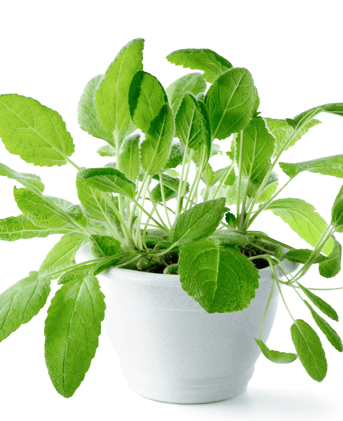 Indoor Office Plants Feng Shui | ImpeccaBuild | Sage Plant