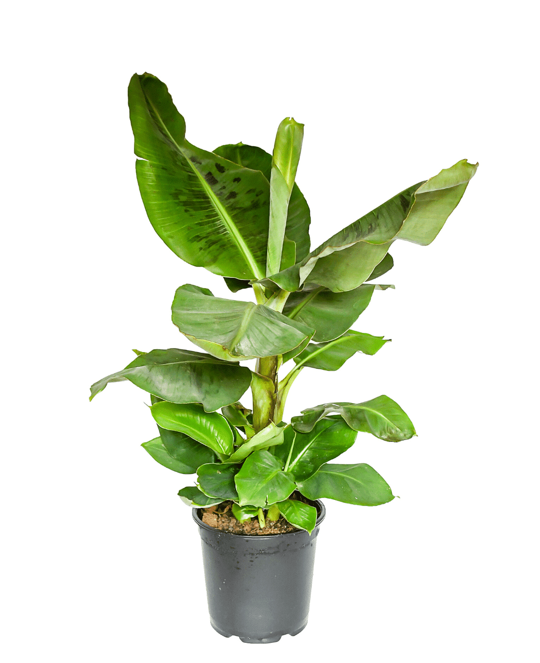 Indoor Office Plants Feng Shui | ImpeccaBuild | Banana Leaf Plants
