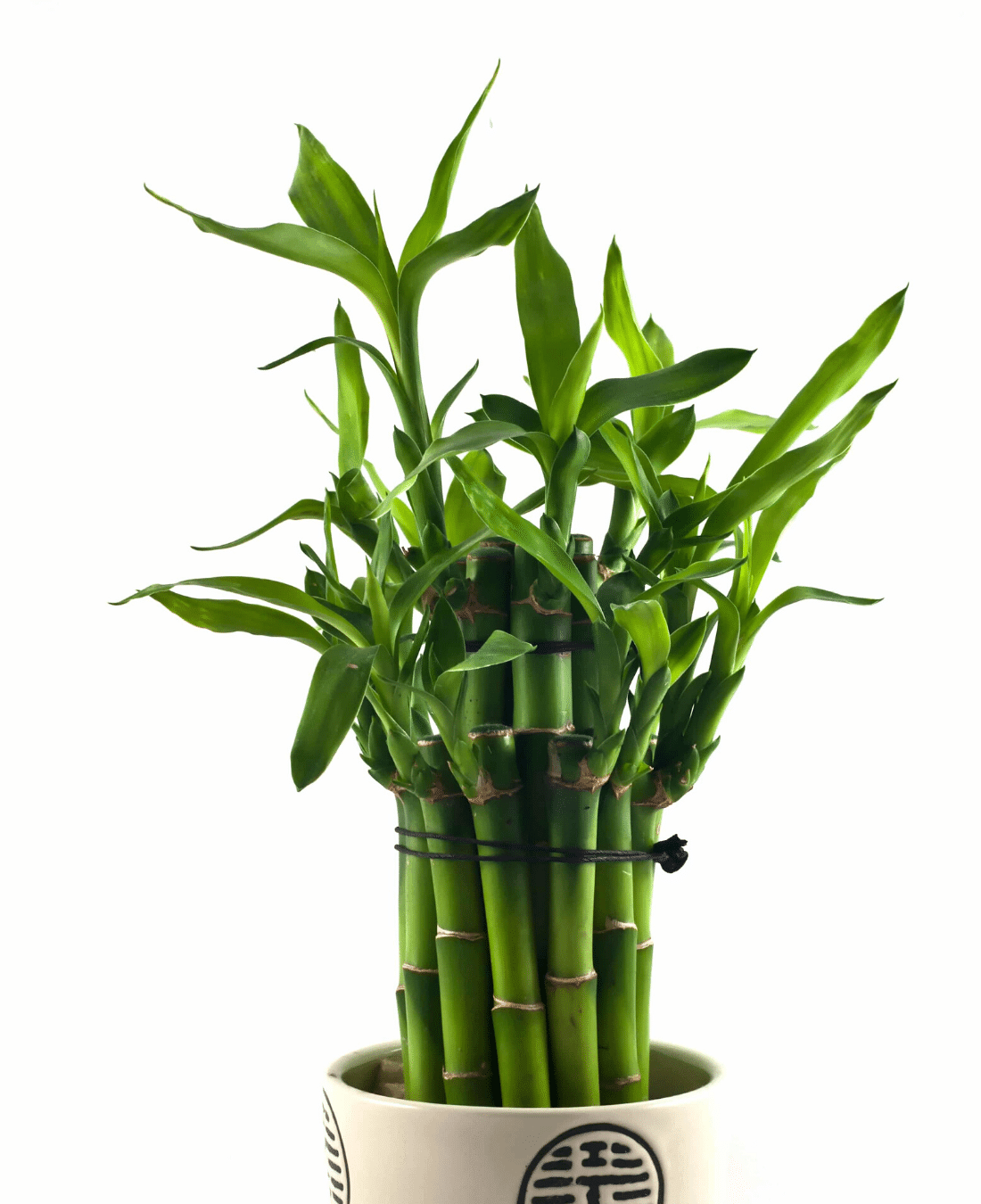Indoor Office Plants Feng Shui | ImpeccaBuild | Lucky Bamboo