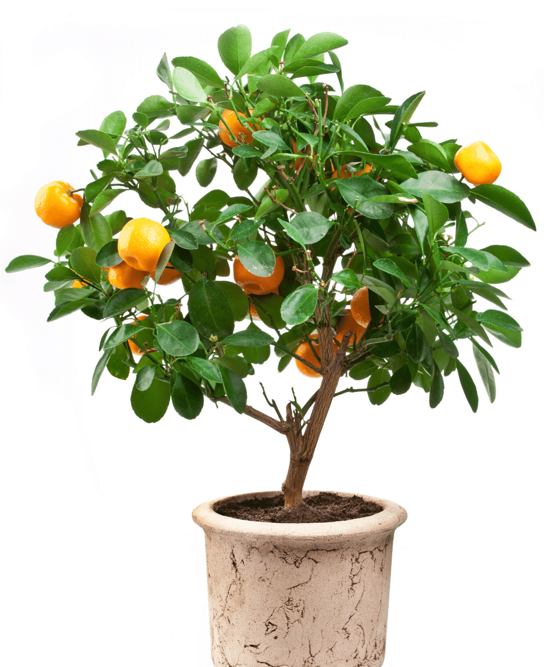 Indoor Office Plants Feng Shui | ImpeccaBuild | Citrus Tree