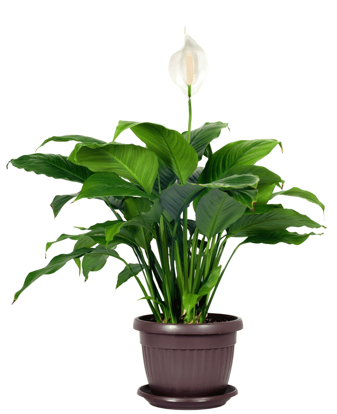 Indoor Office Plants Feng Shui | ImpeccaBuild | Peace Lily