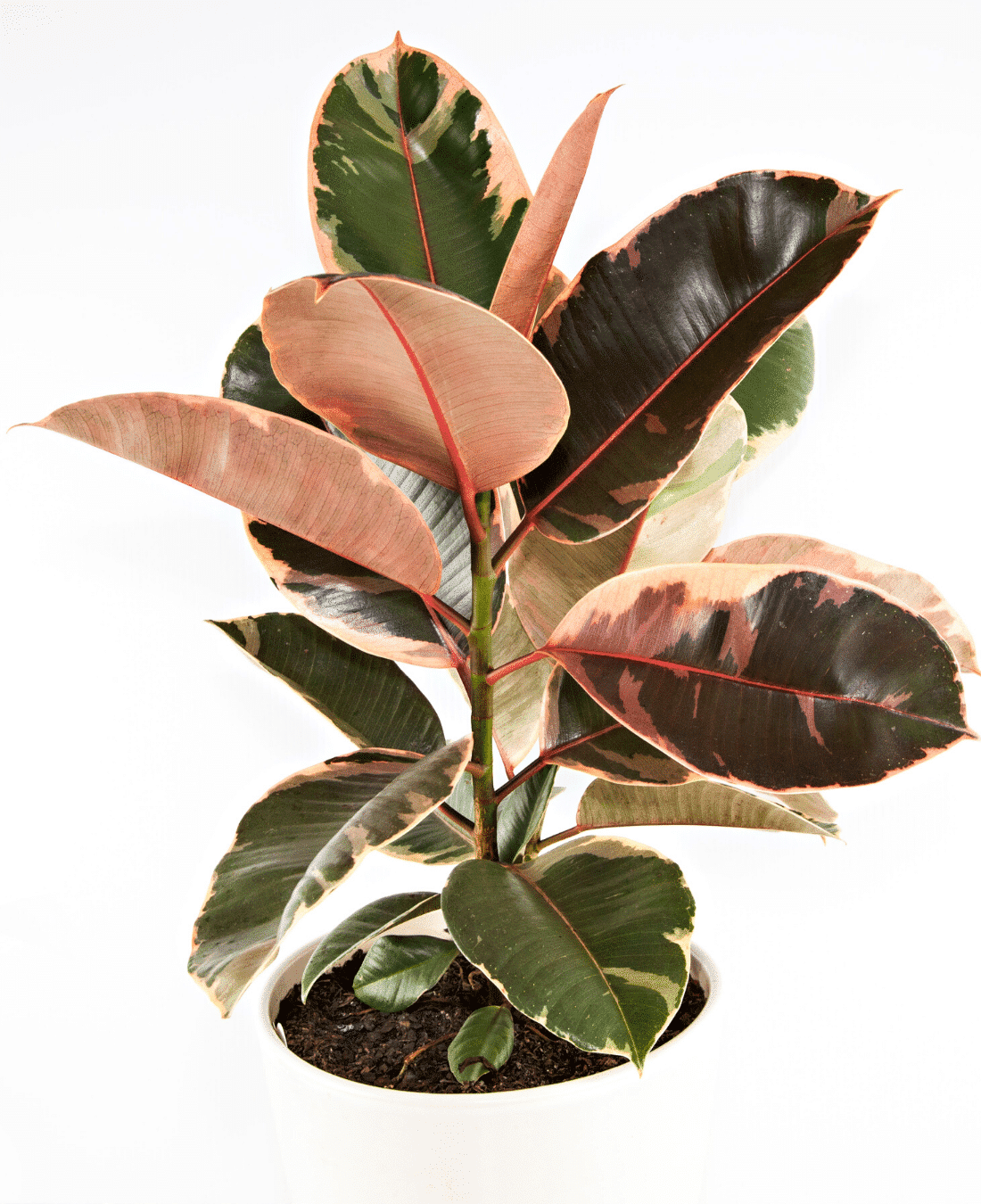 Indoor Office Plants Feng Shui | ImpeccaBuild | Rubber Plant