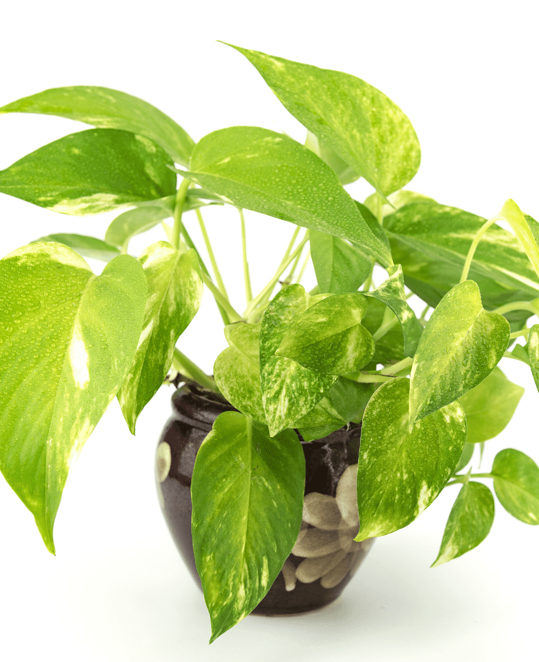 Indoor Office Plants Feng Shui | ImpeccaBuild | Golden Pothos